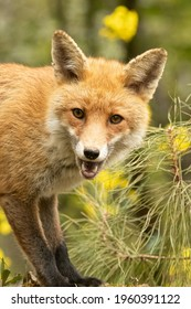 fox in the forest in springtime