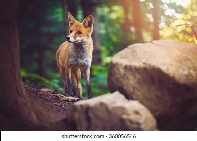 The Fox Foxes are small-to-medium-sized, omnivorous mammals belonging to several genera of the family Canidae.