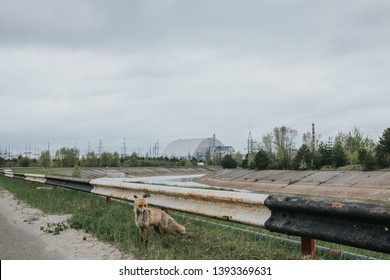 Fox goes and Chernobyl NPP on the background. Chernobyl. Exclusion Zone.