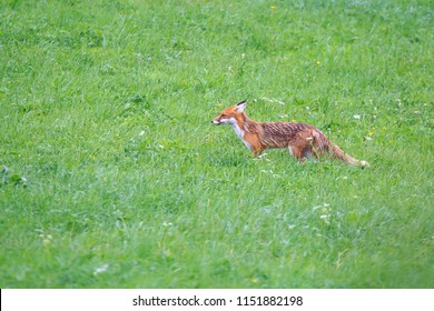 fox in the grass on hunting