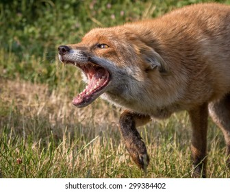 Fox with green foliage background.