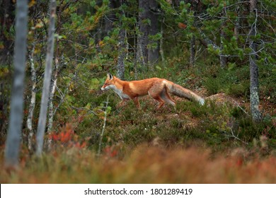 Fox in the habitat. Red Fox, Vulpes vulpes, beautiful animal on green vegetation in the forest, in the nature habitat, evening sun with nice light, Poland. Wildlife nature, Europe.