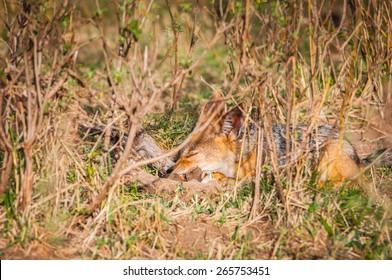 Fox in Kenya, Africa