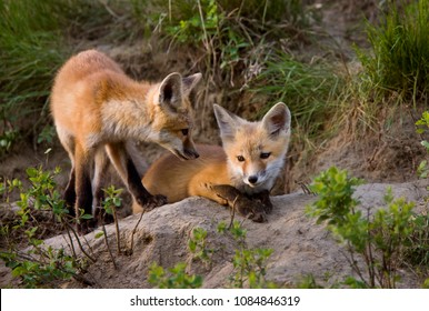 Fox Kits at Play den in Saskatchewan Canada