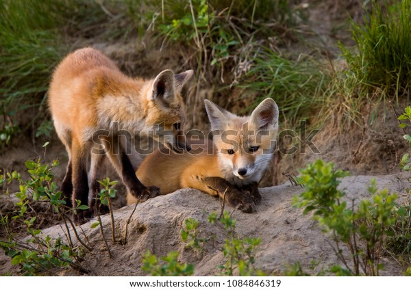 Fox Kits at Play den in Saskatchewan Canada