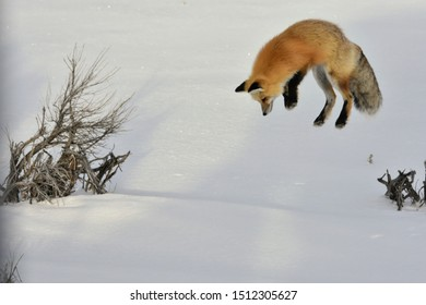 Fox listens for prey and then does a headfirst drive into the snow for a winter meal