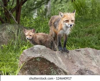 Fox Mom and Kit