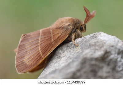 Fox moth (Macrothylacia rubi) male. Insect in the family Lasiocampidae at rest on rock