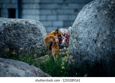 The Fox on the Brocken in the Harz mountains