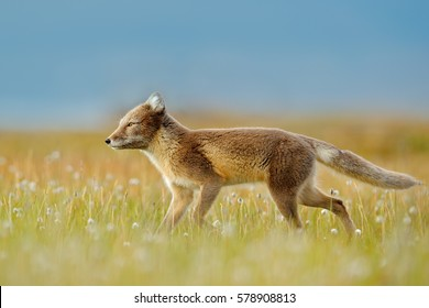 Fox on grassy meadow with flowers, Svalbard, Norway. Beautiful animal in the bloom field. Wildlife action scene from Norway. Arctic Fox, Vulpes lagopus, in the nature habitat.