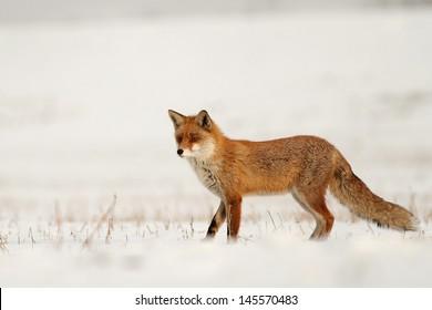 Fox on white background