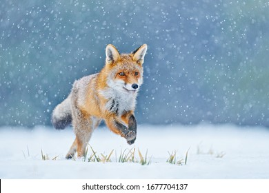 Fox on the winter forest meadow, with white snow. Red Fox hunting, Vulpes vulpes, wildlife scene from Europe. Orange fur coat animal in the nature habitat.