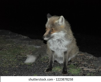 a fox photographed in the darkness