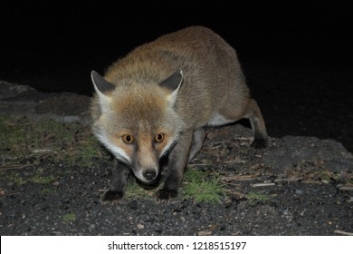 a fox photographed while approaching furtive in the darkness - Etna Park, Sicily