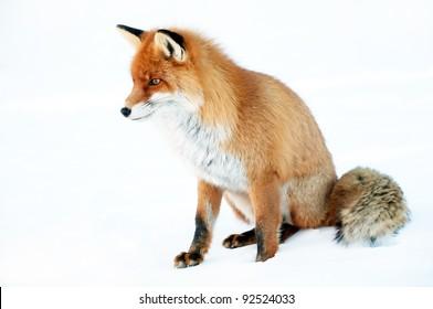 Fox portrait isolated on white