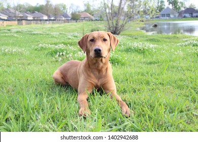 Fox Red Lab Images, Stock Photos & Vectors | Shutterstock