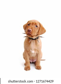 fox red labrador puppy wearing a spikey collar sitting facing forward in white setting