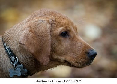 500 Fox Red Labrador Portrait Pictures Royalty Free Images Stock