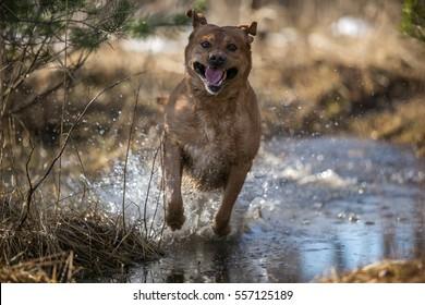 Fox red Labrador retriever running through puddle