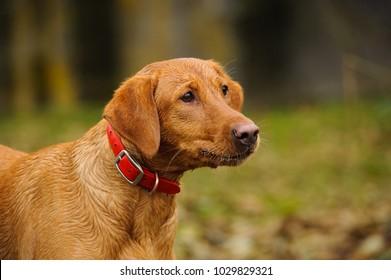 Fox red Yellow Labrador Retriever