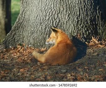 A fox relaxes and scratches himself by a tree