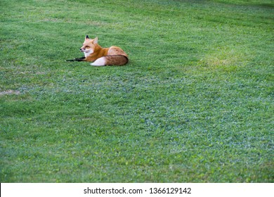 Fox is resting on green grass at PEI