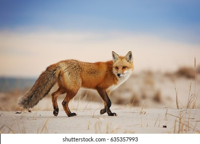 Fox Running on Beach Sand Dunes