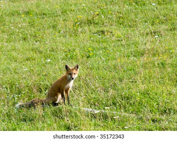 fox sitting in field of wild flowers and grasses