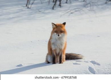 Fox sitting on snow