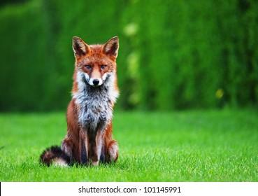 Fox sitting in an urban back garden