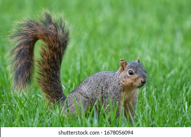 Fox Squirrel in Alert Stance with Bushy Tail Up on Green Grassy Lawn