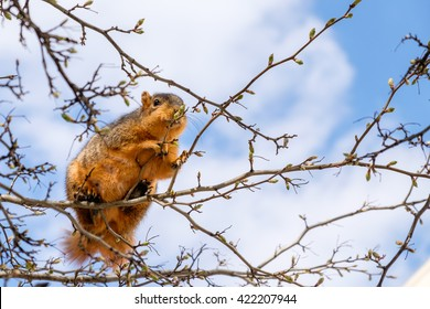 Fox squirrel eating leaf buds perched in a tree