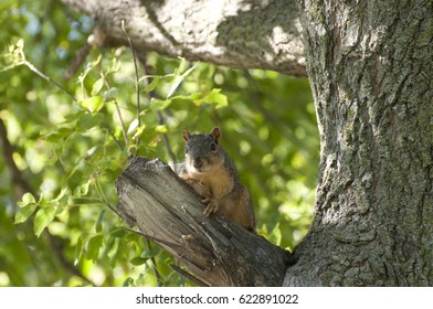 A Fox squirrel sits on a branch of a tree in Cedar Rapids, Iowa, USA.