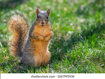 royalty free fox squirrel images stock photos vectors shutterstock