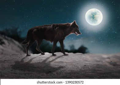 The fox stood on the desert on the full moon night like a solo.