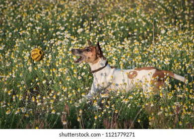Fox terier breed dog playing with a ball on a daisy field