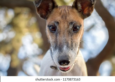 Fox Terrier close-up, muzzle against the background of yellow leaves, autumn