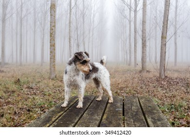 Fox Terrier dog breed on wooden table in forest of poplars.