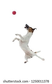 Fox Terrier dog in jump for the ball