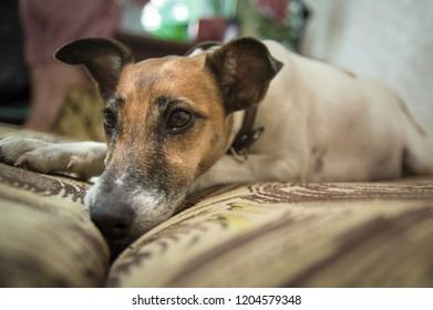 Fox terrier dog lying on the couch in the room