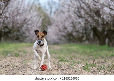 Fox Terrier dog playing with ball in blooming garden
