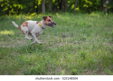 Fox terrier dog runs on a green valley in the summer