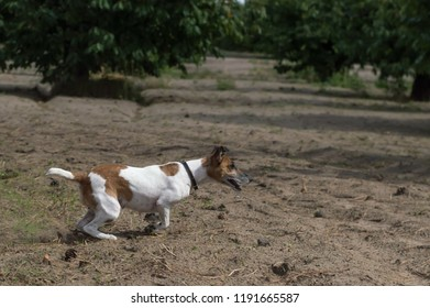 Fox Terrier Dog Runs Through the Garden