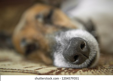 Fox terrier dog sleeping on the couch in the room, portrait, close-up