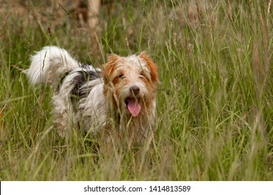 fox terrier dog standing with his tounge out in high grass