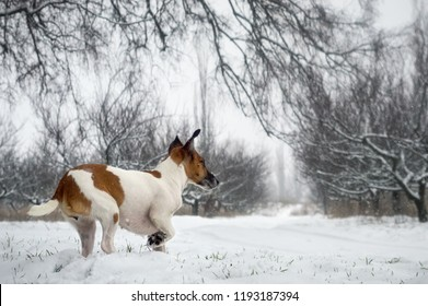 Fox terrier dog in the winter for a walk in the garden, on the hunt