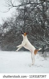 Fox terrier dog in the winter for a walk in the garden, snowy landscape