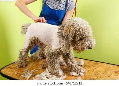 Fox terrier getting his hair cut at the groomer.