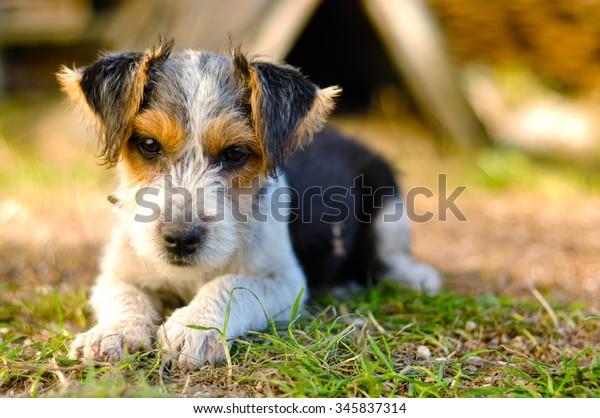 fox-terrier-puppy-600w-345837314.jpg