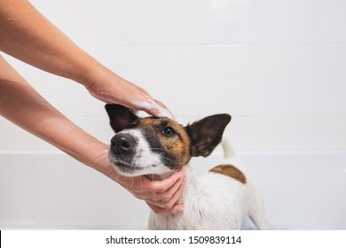 Fox terrier puppy getting a bath and smiling. Human hands apply soap on the dog in bathroom, concept of pet care and hygiene